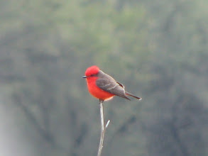 Photo: Vermilion Flycatcher.  Actually taken in San Miguel de Allende but seen again in Mission.