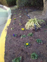 Photo: Freshly planted pansies in Oklahoma in January!