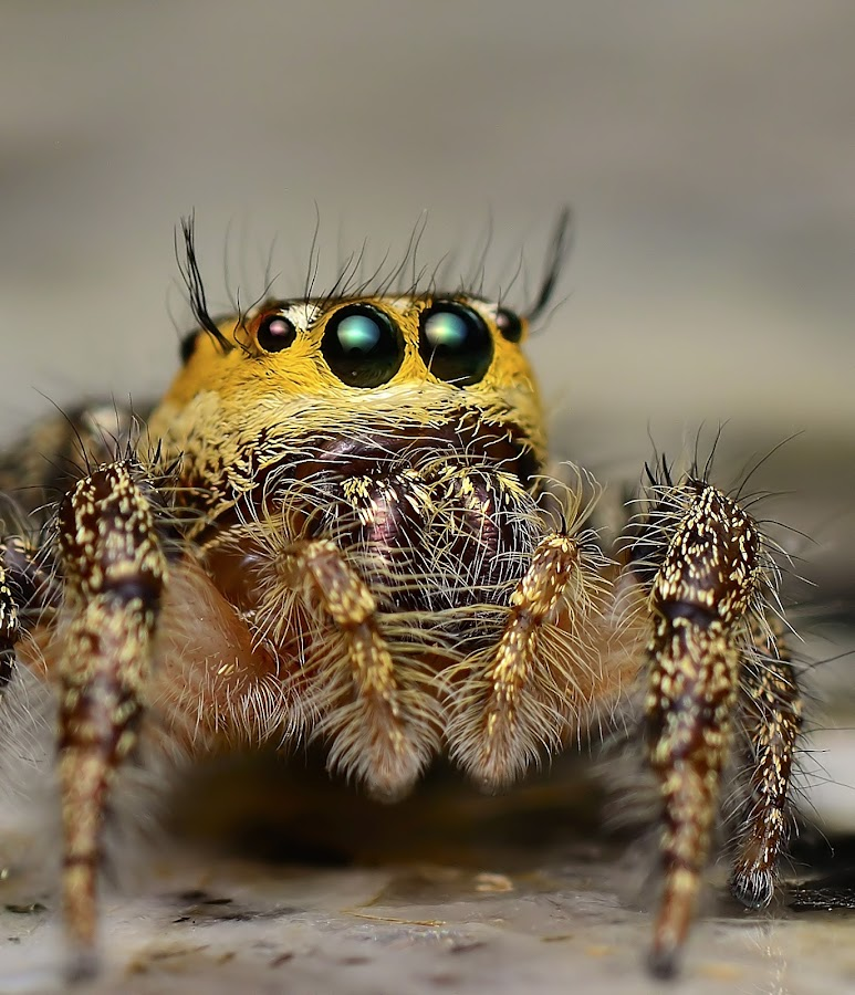 hyllus sp by Sunny Joseph - Animals Insects & Spiders (  )