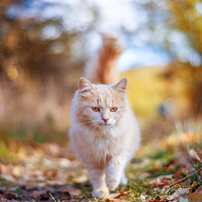 beautiful cat walking in autumn by Grigor  Ivanov - Animals - Cats Portraits ( face, cat, walking, seasonal, one, yellow, beauty, cute, leaves, pretty, cats, tree, nature, autumn, pets, kitty, hair, eye, animal, wild, animals, kitten, park, dream, beautiful, funny, young, portrait, mammal, red, fluffy, sweet, season, color, sunset, feeling, pet, outdoors, background, fall, healthy, garden, small, wall, outside )