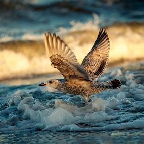 Flee little gull!  by Jens Klappenecker-Dircks - Animals Birds ( baltic sea, water foam, sea-gull, usedom )