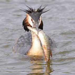 Crested Grebe by Kjetil Salomonsen - Animals Birds