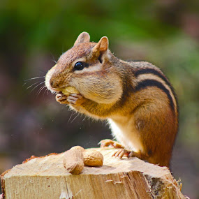 Dinner Time by Philip O'Brien - Animals Other Mammals ( peanut, chipmunk, eating, eat, forest, rodent,  )