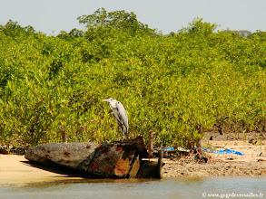 Photo: #014-Beaucoup d'oiseaux dans la mangrove, un héron cendré