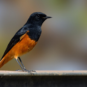 Black Redstart (Phoenicurus Ochruros) by Rahul Chakraborty - Animals Birds (  )