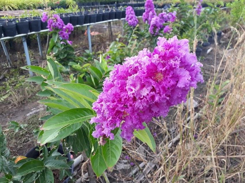 Chụp cân cảnh chùm hoa bằng lăng Thái Lan, hoa có màu tím hoa cà, nhụy hoa màu vàng, các bông hoa kết khít nhau tạo thành một chùm hoa