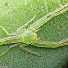 Elongate Green Crab Spider