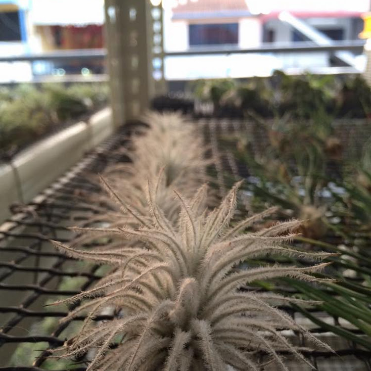 Tillandsia Tectorum small size by AquaticsForevers Enterprise