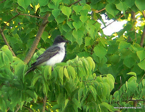 Photo: Eastern Kingbird, upper Texas Coast