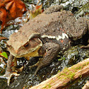 Japanese Mountain Toad