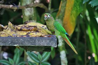Photo: Maroon-bellied Parakeet