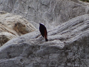 Photo: White-capped Water Redstart