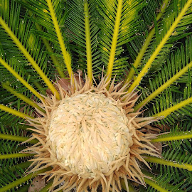Cycus by Soumya Kundu - Novices Only Flowers & Plants