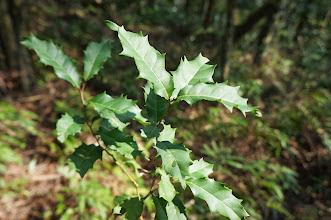 Photo: 很常見的山林植物