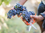 Experts teach visitors to the Harvest at Dusk Festival about the wine-grape harvest.