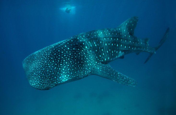 virtual vr swimming with whale sharks