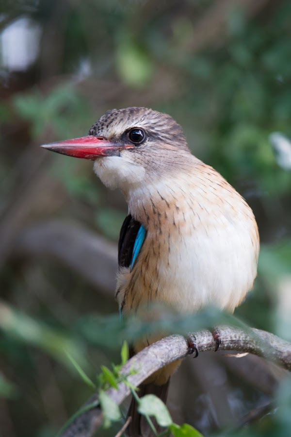 Brown hooded kingfisher by Dawie Nolte - Animals Birds ( bird, st lucia, blue, kingfisher, brown hooded kingfisher, red beak,  )
