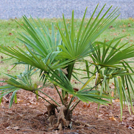 Young Palmetto Tree by Terry Linton - Nature Up Close Trees & Bushes