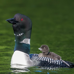 Tall Loon with Baby on Back by Carl Albro - Animals Birds ( water, baby, loon, belgrade maine lakes area,  )