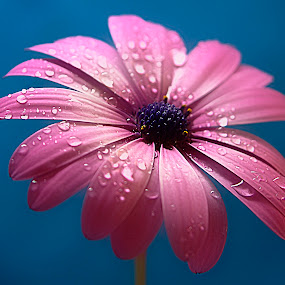 Pink Daisy. by Dave  Horne - Flowers Single Flower