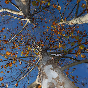 autumn tree by Deborah Murray - Nature Up Close Trees & Bushes ( sky, nature, tree, autumn, kentucky )