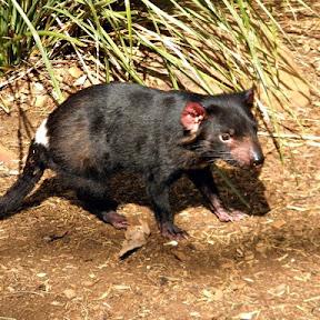 入園料が野生動物の保護のための寄付になる、オーストラリア・タスマニア島にある「ボノロング野生動物保護区」