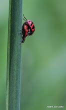 Photo: Horny ladybugs
