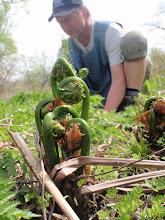 Photo: Têtes de violon/ Fiddlhead ferns
