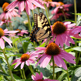 Summertime. by Peter DiMarco - Flowers Flower Gardens ( pink flower, daisies, flowers, daisy with butterfly, flower,  )