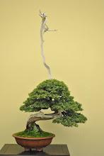 Photo: Taikan-ten Bonsai exhibition, Japan