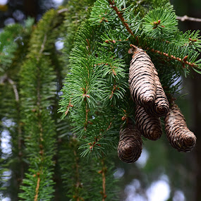 Quintet of Balsam Fir Cones by John Tuttle - Nature Up Close Trees & Bushes ( conifer, pine needles, pine cones, pine, fir, cones, balsam fir tree,  )