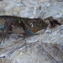 Mexican Emerald Spiny Lizard