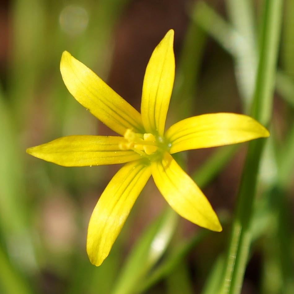 bloem met toegespitste bloemdekbladen