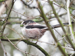 Photo: Priorslee Lake A Long-tailed Tit – but what is that in the bill? food? or something to line the nest? (Ed Wilson)