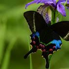 Krishna peacock