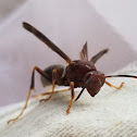 Black and red paper wasp