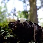 Douglas fir cone mushroom