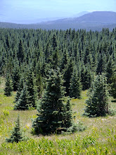 Photo: Conical conifers!