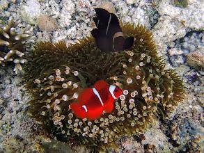 Photo: Premnas biaculeatus (Maroon Clownfish), Miniloc Island Resort reef, Palawan, Philippines