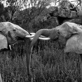 by Franky Vanlerberghe - Black & White Animals ( love, pairi daiza, elephant,  )