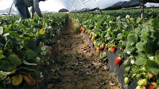 Aplicación de CalFlux de Ecoculture en cultivo de fresas.