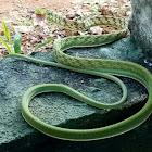 Sri Lankan Green Vine Snake