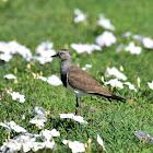 Lapwing - Black-winged Lapwing