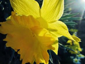 Photo: Golden daffodil in the spring morning sun at Wegerzyn Gardens Metropark in Dayton, Ohio.