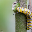 Monarch Butterfly (Larvae)