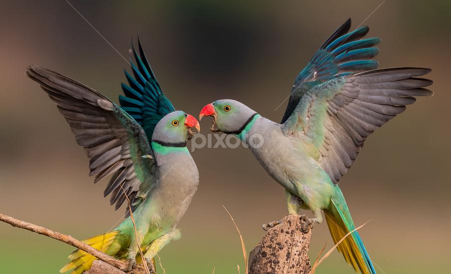The hustle by Guna Shekar - Animals Birds ( vibrant, forest, green, malabar parakeets, parakeets, ornithology, fighting, birds, beautiful, expressive, feathers, colorful, beautiful birds, wildlife,  )