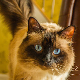Metzler by Tony Burnard - Animals - Cats Portraits ( walking, curious, mischief furry )