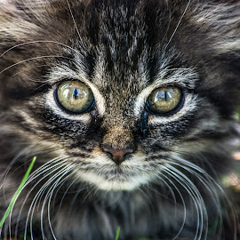 Gizmo by Dazz Lee Briggs - Animals - Cats Kittens ( feral, kitten, cat, wild, eyes, cute )