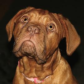 Maggie by Chrissie Barrow - Animals - Dogs Portraits ( tan, fur, ears, puppy, dogue de bordeaux, dog, eyes, pet )