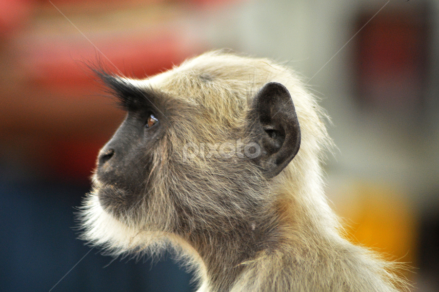 Punk Langur by Rajat Sethi - Animals Other Mammals ( animal, monkey,  )